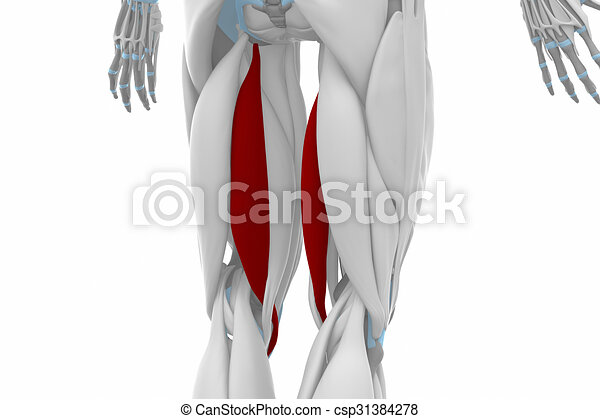 Semitendinosus - muscles anatomy map.