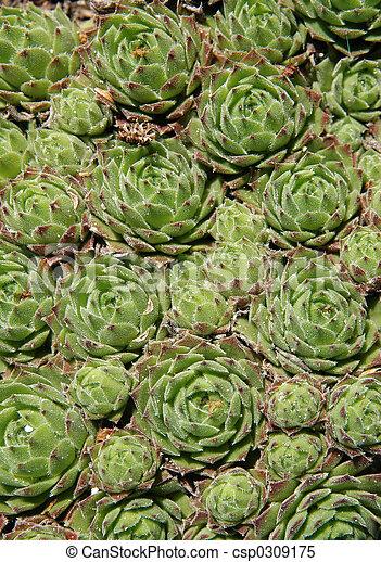 Sempervivum in a rockery garden - csp0309175