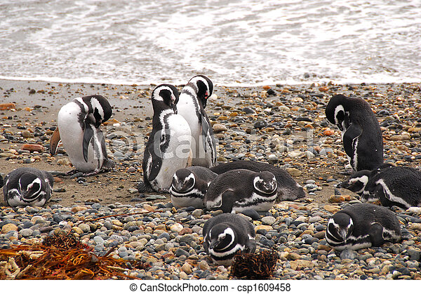 Seno Otway penguin colony - patagonia chile - csp1609458