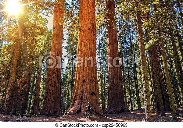 sequoia, vs, homem - csp22456963