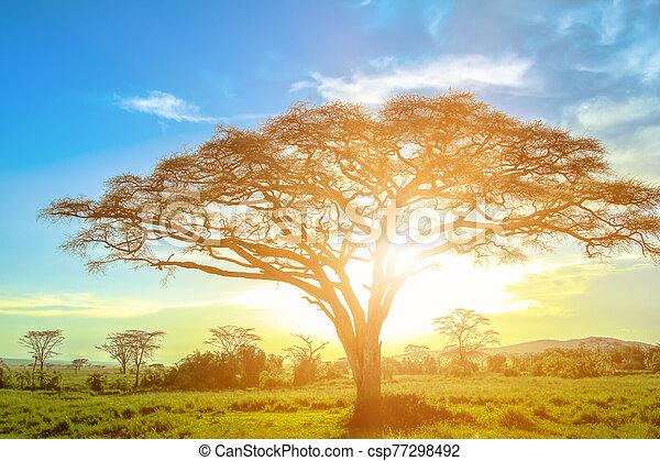 Serengeti acacia tree at sunrise - csp77298492