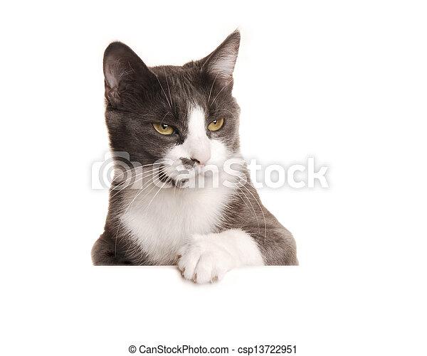serie, gatto, grigio - csp13722951