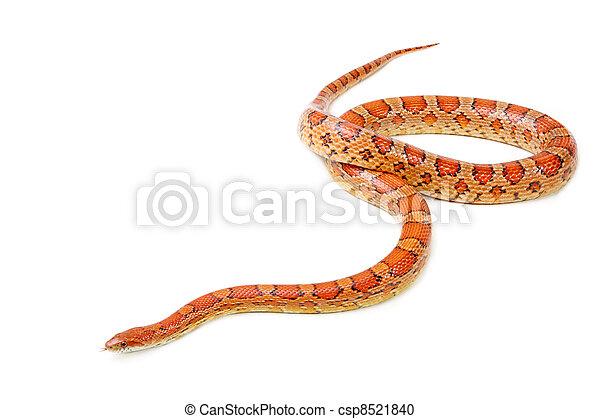 serpent maïs, fond, blanc, (elaphe, guttata)