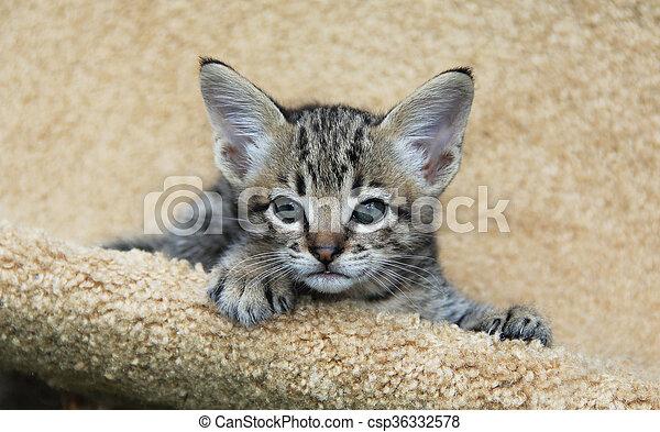 Serval Savannah Kitten - csp36332578