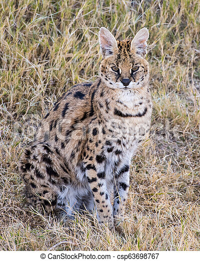 Serval sitting in the Grass - csp63698767