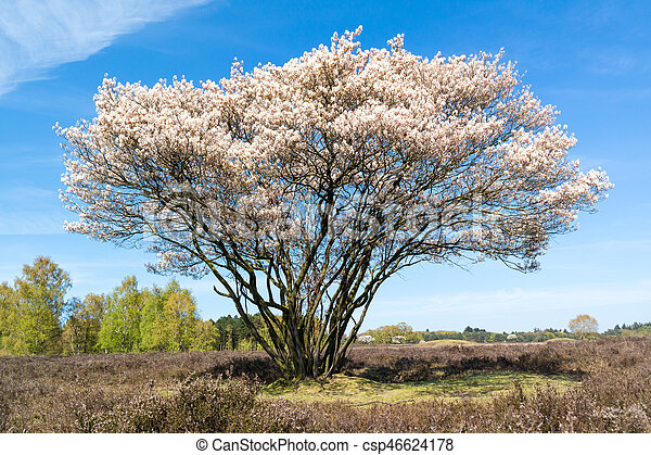 Serviceberry tree in bloom heath netherlands blooming amelanchier serviceberry tree in bloom heath netherlands csp46624178 mightylinksfo