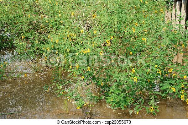Sesbania sesban bush dien dien yellow flower sesbania sesban bush sesbania sesban bush dien dien yellow flower csp23055670 mightylinksfo