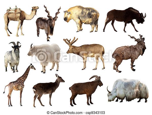 set, dieren, artiodactyla - csp9343103
