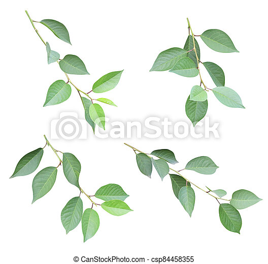 Set of branch with green leaves - csp84458355