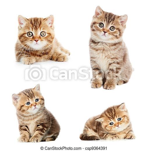 set of British Shorthair kittens - csp9364391