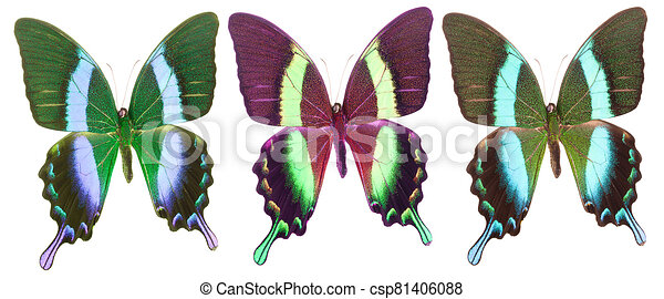 Set of colorful butterflies isolated on a white background - csp81406088
