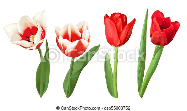 Red and White Tulip Clip Art