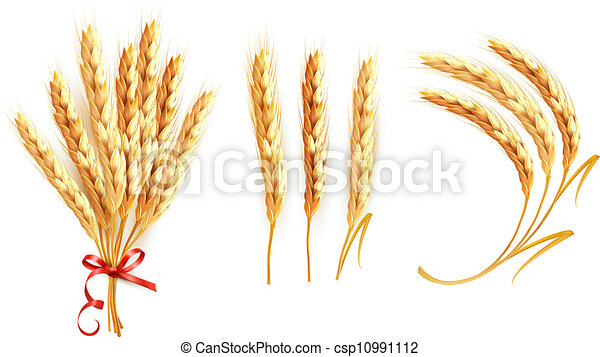 Set of ears of wheat. Vector. - csp10991112