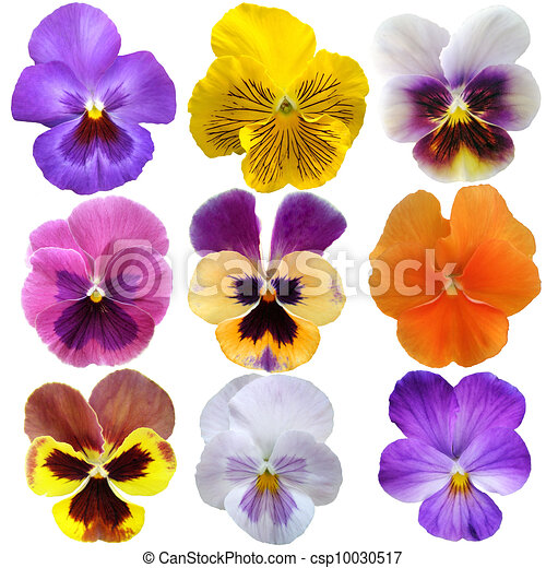 set of nine pansies on white background clipart search rh canstockphoto com Pansy Flower Pansy Outline
