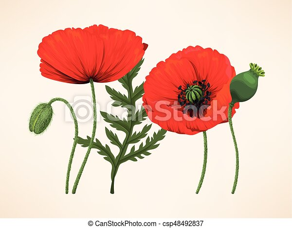 Set of poppies vector set of red poppy flowers buds and leaves set of poppies csp48492837 mightylinksfo