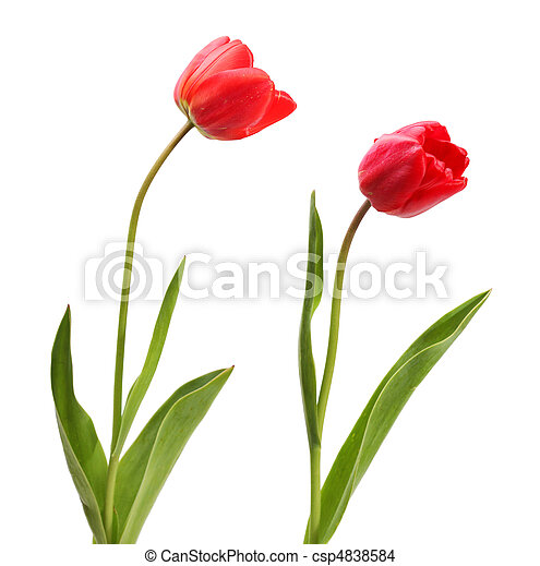 set of red tulips isolated on white - csp4838584