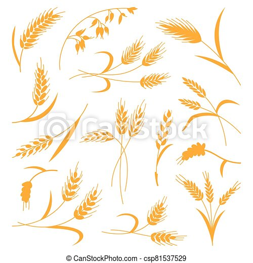 Set of spikelets of wheat on a white isolated background. Vector illustration. The icon - csp81537529
