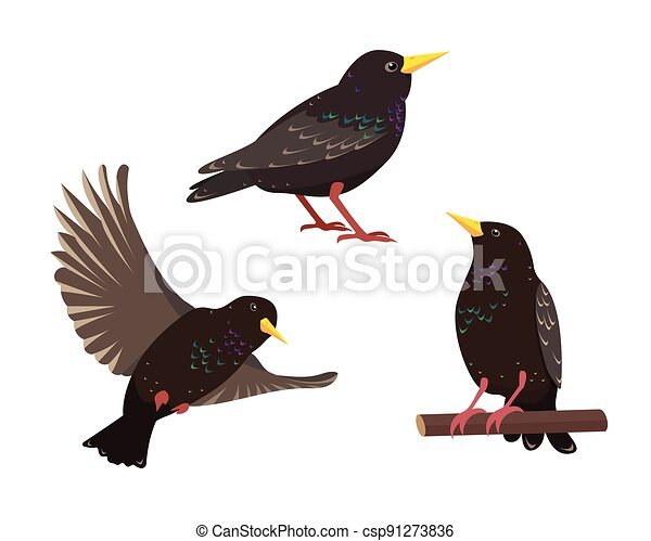 Set of starling birds in different poses isolated - csp91273836