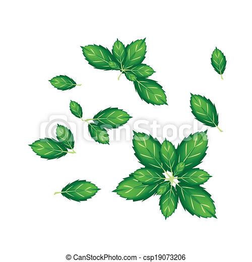 Set of Thai Basil Leaves on White Background - csp19073206