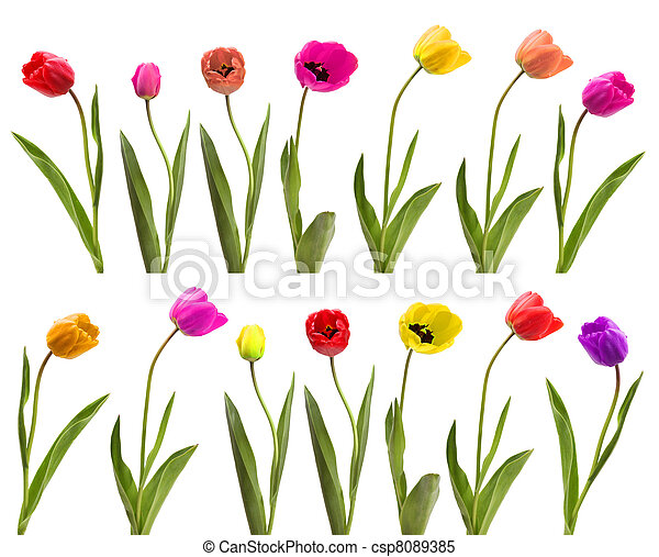 set of tulips - csp8089385