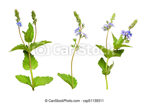 Set of veronica chamaedrys flowers buds and leaves isolated on white set of veronica chamaedrys flowers buds and leaves csp51139311 mightylinksfo
