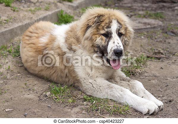 Alabai seven months puppy of central asian shepherd (alabai)