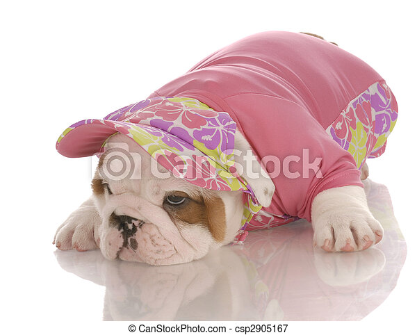 seven week old english bulldog puppy wearing matching shirt and hat - csp2905167