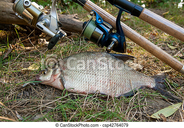 Several common bream fish on the natural background. Catching freshwater fish and fishing rods with reels on green grass. - csp42764079