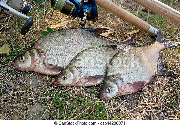 Several common bream fish on the natural background. Catching freshwater fish and fishing rods with reels on green grass. - csp44206071