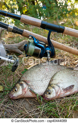 Several common bream fish on the natural background. Catching freshwater fish and fishing rods with reels on green grass. - csp40444089