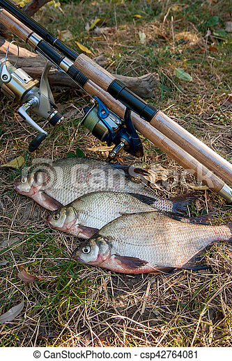 Several common bream fish on the natural background. Catching freshwater fish and fishing rods with reels on green grass. - csp42764081