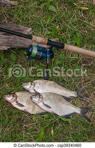 Several common bream fish on the natural background. Catching freshwater fish and fishing rod with fishing reel on green grass. - csp39340460