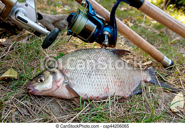 Several common bream fish on the natural background. Catching freshwater fish and fishing rods with reels on green grass. - csp44206065