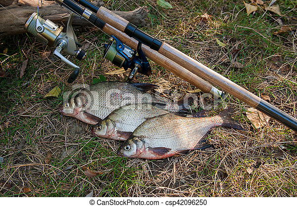 Several common bream fish on the natural background. Catching freshwater fish and fishing rods with reels on green grass. - csp42096250