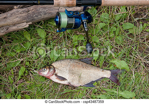 Several common bream fish on the natural background. Catching freshwater fish and fishing rod with fishing reel on green grass. - csp43487359