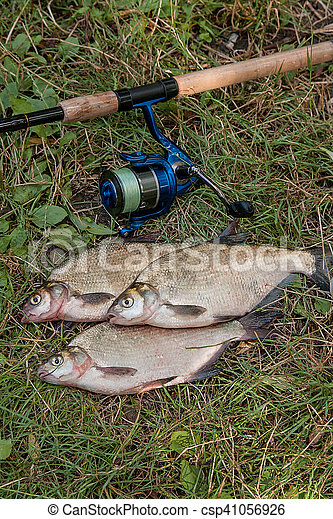 Several common bream fish on the natural background. Catching freshwater fish and fishing rod with fishing reel on green grass. - csp41056926