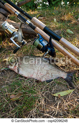 Several common bream fish on the natural background. Catching freshwater fish and fishing rods with reels on green grass. - csp42096248