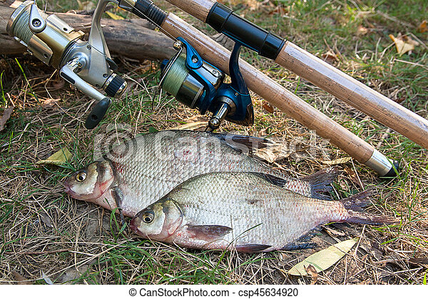 Several common bream fish on the natural background. Catching freshwater fish and fishing rods with reels on green grass. - csp45634920