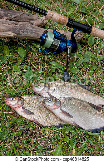 Several common bream fish on the natural background. Catching freshwater fish and fishing rod with fishing reel on green grass. - csp46814825