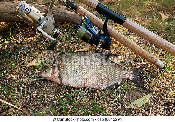 Several common bream fish on the natural background. Catching freshwater fish and fishing rods with reels on green grass. - csp40815294