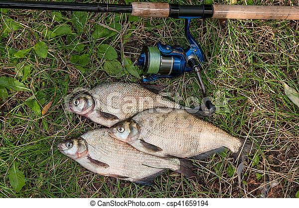Several common bream fish on the natural background. Catching freshwater fish and fishing rod with fishing reel on green grass. - csp41659194
