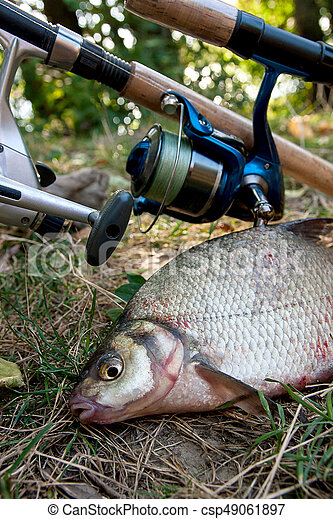 Several common bream fish on the natural background. Catching freshwater fish and fishing rods with reels on green grass. - csp49061897