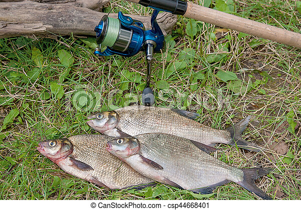 Several common bream fish on the natural background. Catching freshwater fish and fishing rod with fishing reel on green grass. - csp44668401