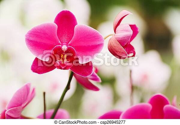 Several Pink orchid flowers in the garden. - csp26945277