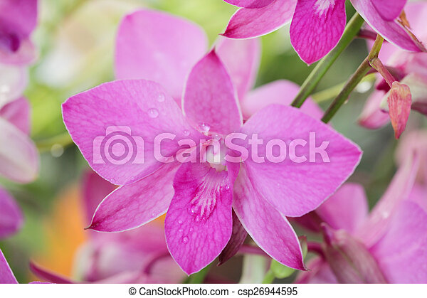 Several Pink orchid flowers in the garden. - csp26944595