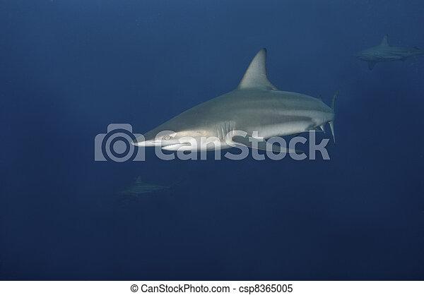 Shark encounter - csp8365005