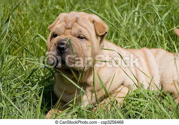 Sharpei dog - csp3256466