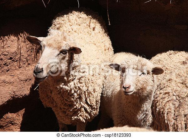 sheep, パドック, 若い - csp18123393
