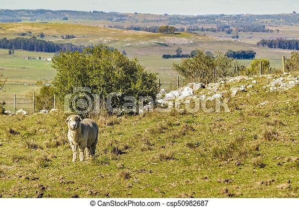 sheep, 田舎, maldonado, ウルグアイ - csp50982687