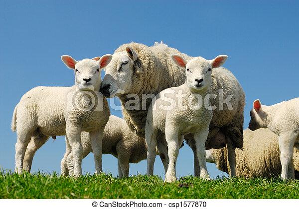 sheep, 봄 - csp1577870
